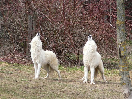 TWO WHITE WOLVES HOWLING TOGETHER