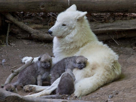 A WHITE WOLF RELAXING TOGETHER WITH FOUR WHITE WOLF PUPS