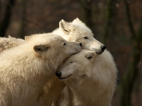 TWO WHITE WOLVES SHOWING AFFECTION TO ANOTHER WHITE WOLF