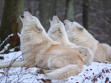 THREE WHITE WOLVES HOWLING TOGETHER