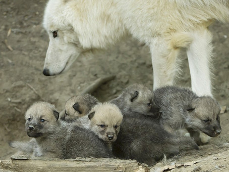 ONE WHITE WOLF TOGETHER WITH FIVE WHITE WOLF PUPS