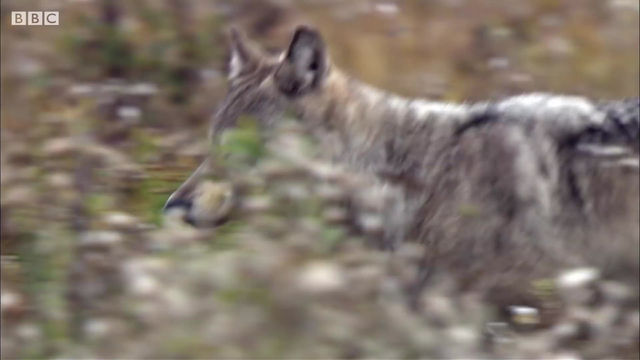 HOW WOLVES OUTSMART BUFFALO DURING HUNTING