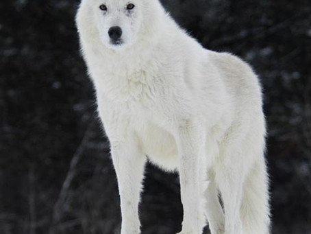 A WHITE WOLF STANDING ON SNOW