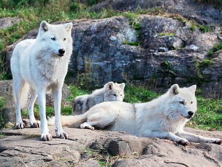 THREE WHITE WOLVES TOGETHER
