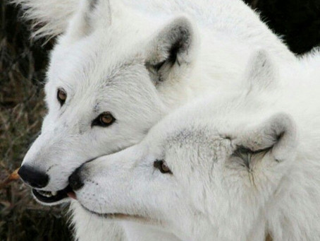 ONE WHITE WOLF AFFECTIONATELY NUZZLING ANOTHER WHITE WOLF