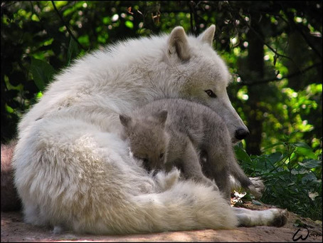 A WHITE WOLF CLOSE TOGETHER WITH A WHITE WOLF PUP