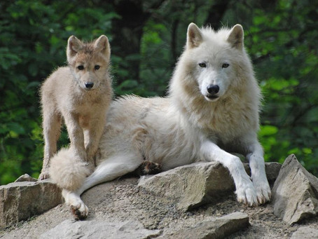 A WHITE WOLF RELAXING TOGETHER WITH ONE WHITE WOLF PUP