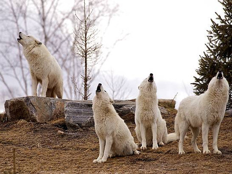 FOUR WHITE WOLVES HOWLING TOGETHER