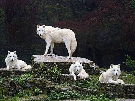 A PACK OF FOUR WHITE WOLVES RELAXING TOGETHER