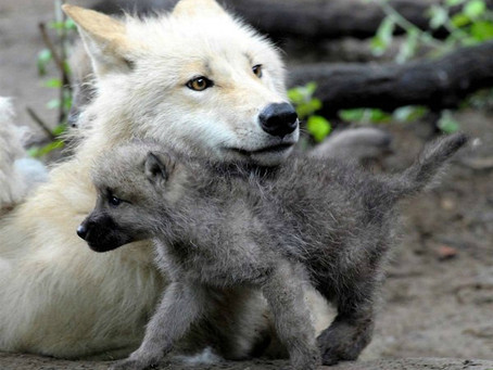 A WHITE WOLF WITH A WHITE WOLF PUP