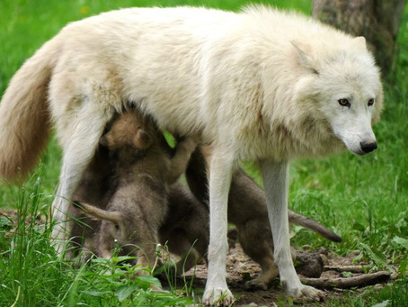 A WHITE WOLF WITH WHITE WOLF PUPS