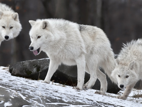 THREE WHITE WOLVES STANDING TOGETHER