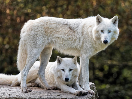 TWO WHITE WOLVES TOGETHER