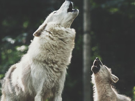 A WHITE WOLF HOWLING TOGETHER WITH A WHITE WOLF PUP