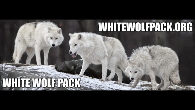 WHITE WOLF PACK - EPISODE 4 - BE THE WOLF YOU ARE NATURALLY SUPPOSED TO BE