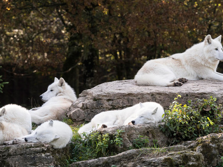 A WOLF PACK OF SIX WHITE WOLVES RELAXING TOGETHER