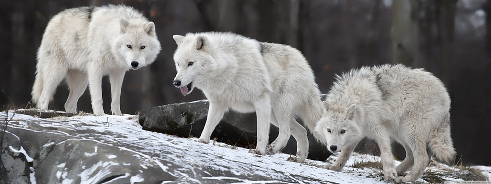 0. THREE WHITE WOLVES STANDING TOGETHER (DONATE).jpg