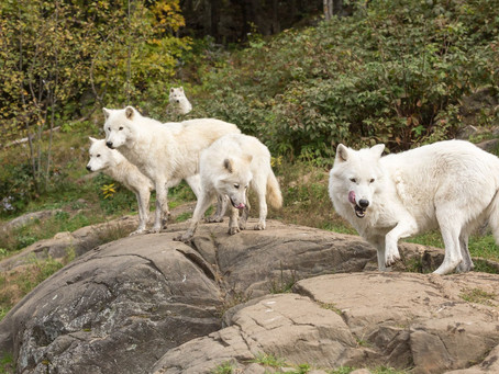 FIVE WHITE WOLVES TOGETHER