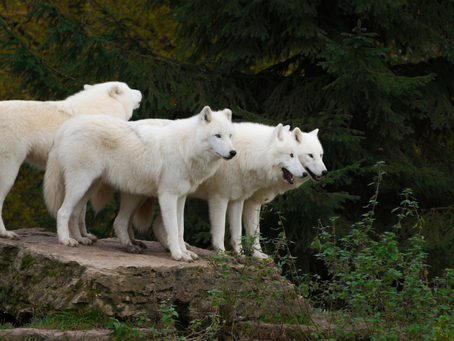 FOUR WHITE WOLVES STANDING TOGETHER