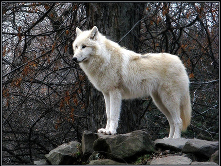 A WHITE WOLF STANDING ON A ROCK