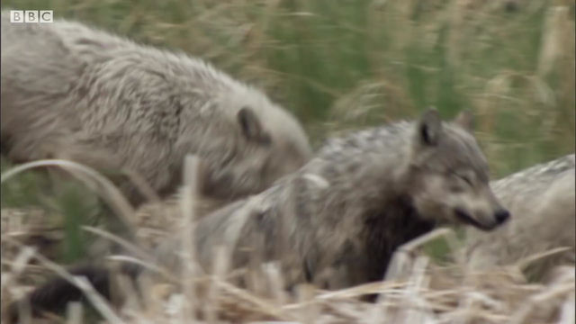 WOLVES DEFEND PUPS FROM A BEAR