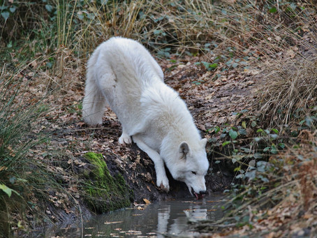 A WHITE WOLF LAPPING WATER
