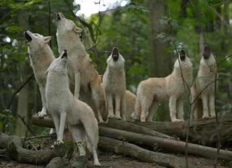 A PACK OF WHITE WOLVES HOWLING TOGETHER