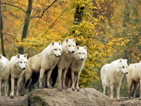 A PACK OF WHITE WOLVES STANDING TOGETHER