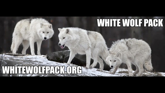WHITE WOLF PACK - EPISODE 2 - BE A WOLF AND WORK TOGETHER AS A WOLF PACK