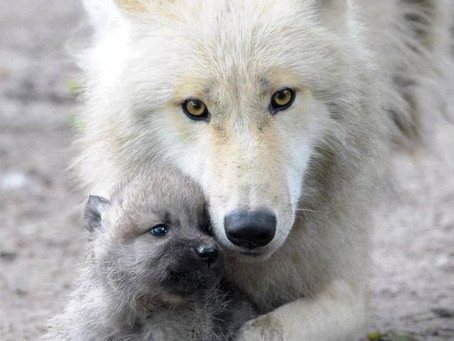 ONE WHITE WOLF CLOSE TOGETHER WITH A WHITE WOLF PUP