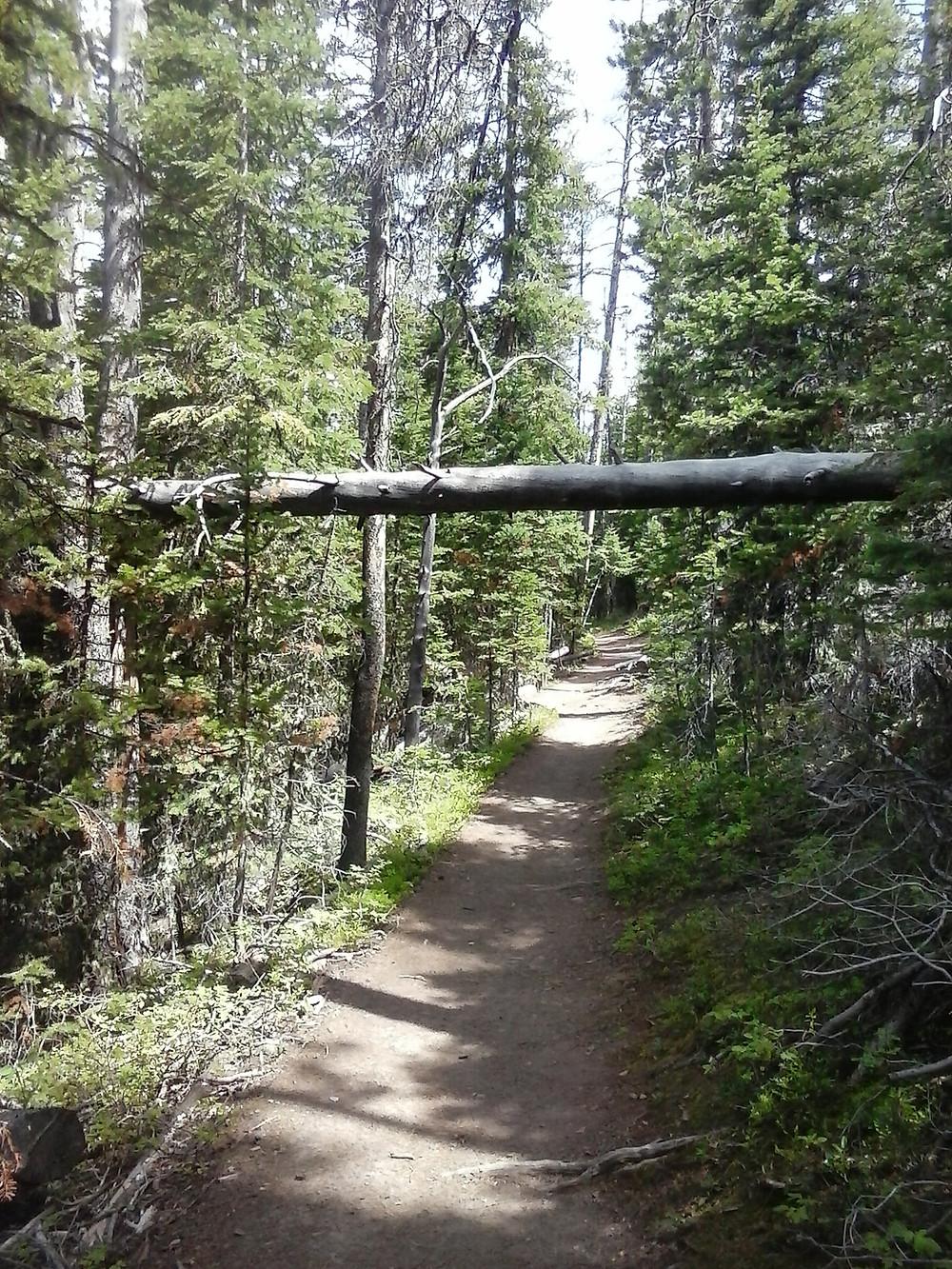 Blackmore trail, fallen tree splits an entire tree below in half outside Bozeman, Montana