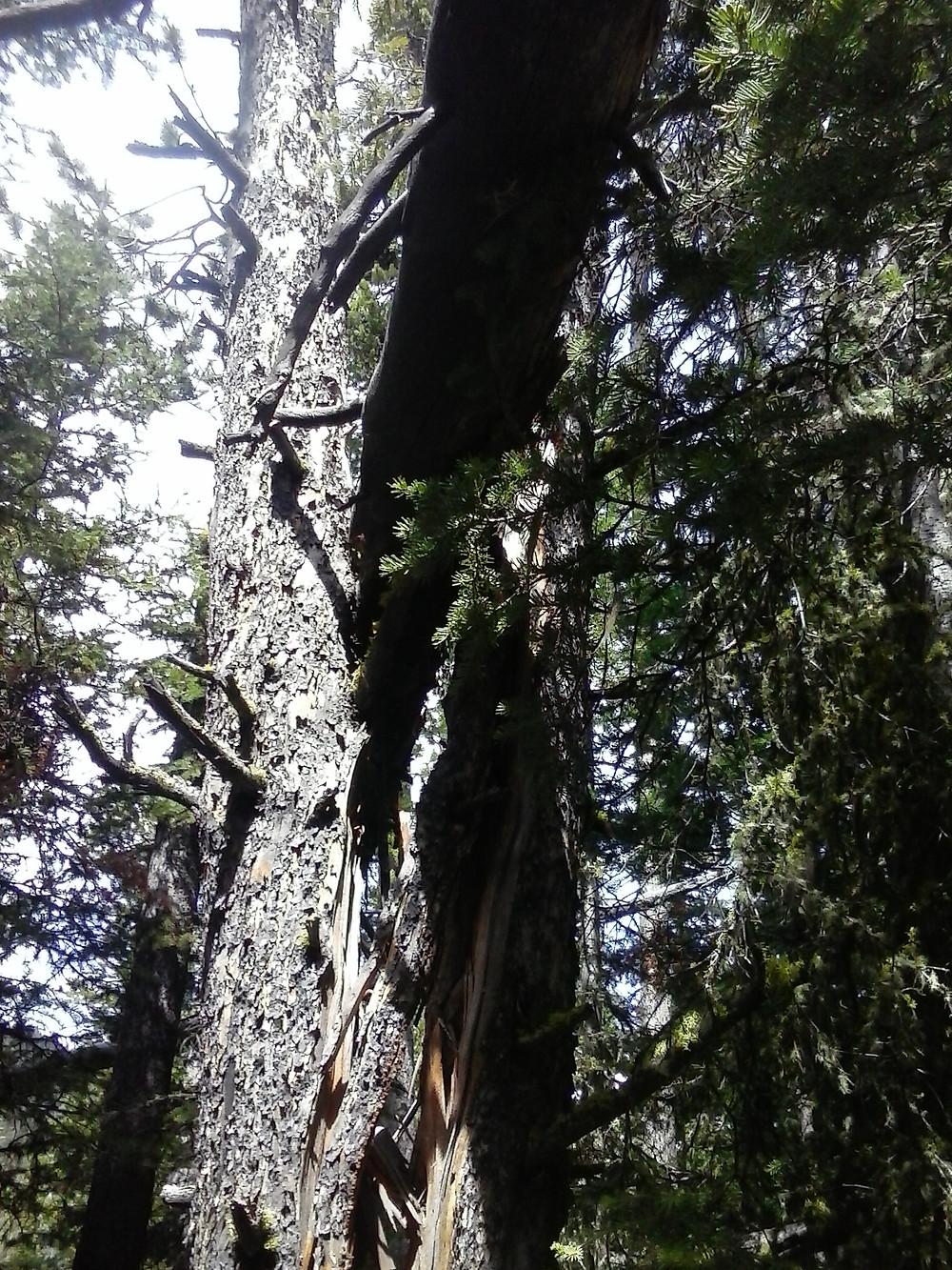 Fallen Tree along Blackmore Trail splitting a large healthy tree below it.  Bozeman Hiking.