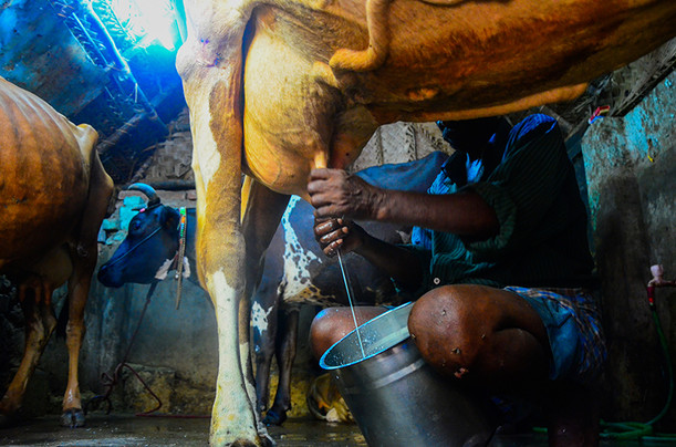 A milkman milks his cow.JPG
