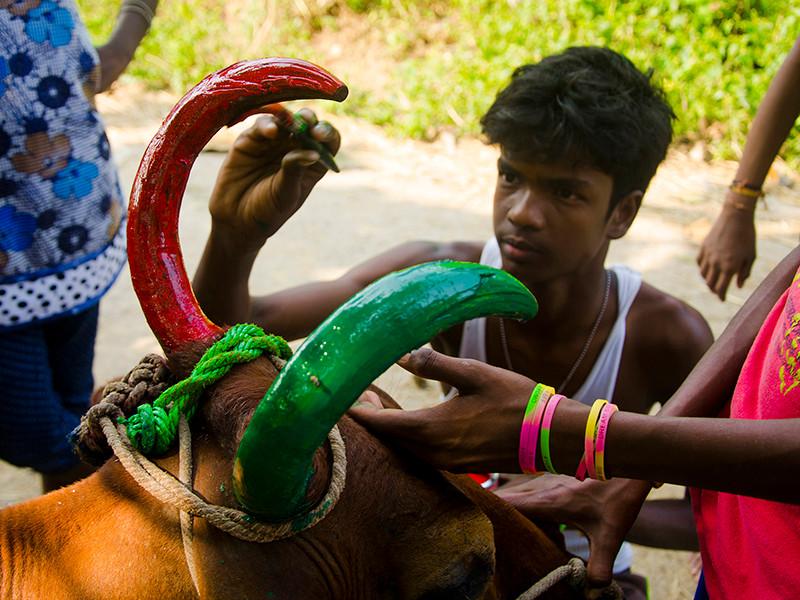 a farmer paints his  bull for Mattu Pong
