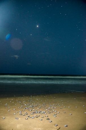 Olive Ridley Hatchlings under the night sky