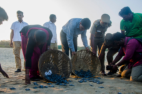 The forest dept releasing olive ridley h