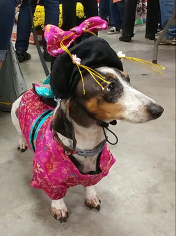 doxie day dressed up.jpg