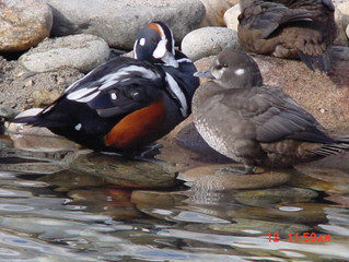 Maintaining Harlequin Ducks