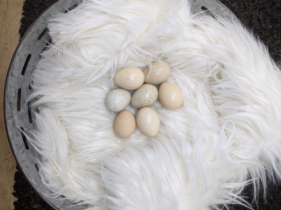 1 Dozen Greater Prairie Chicken Hatching Eggs (25 Days)
