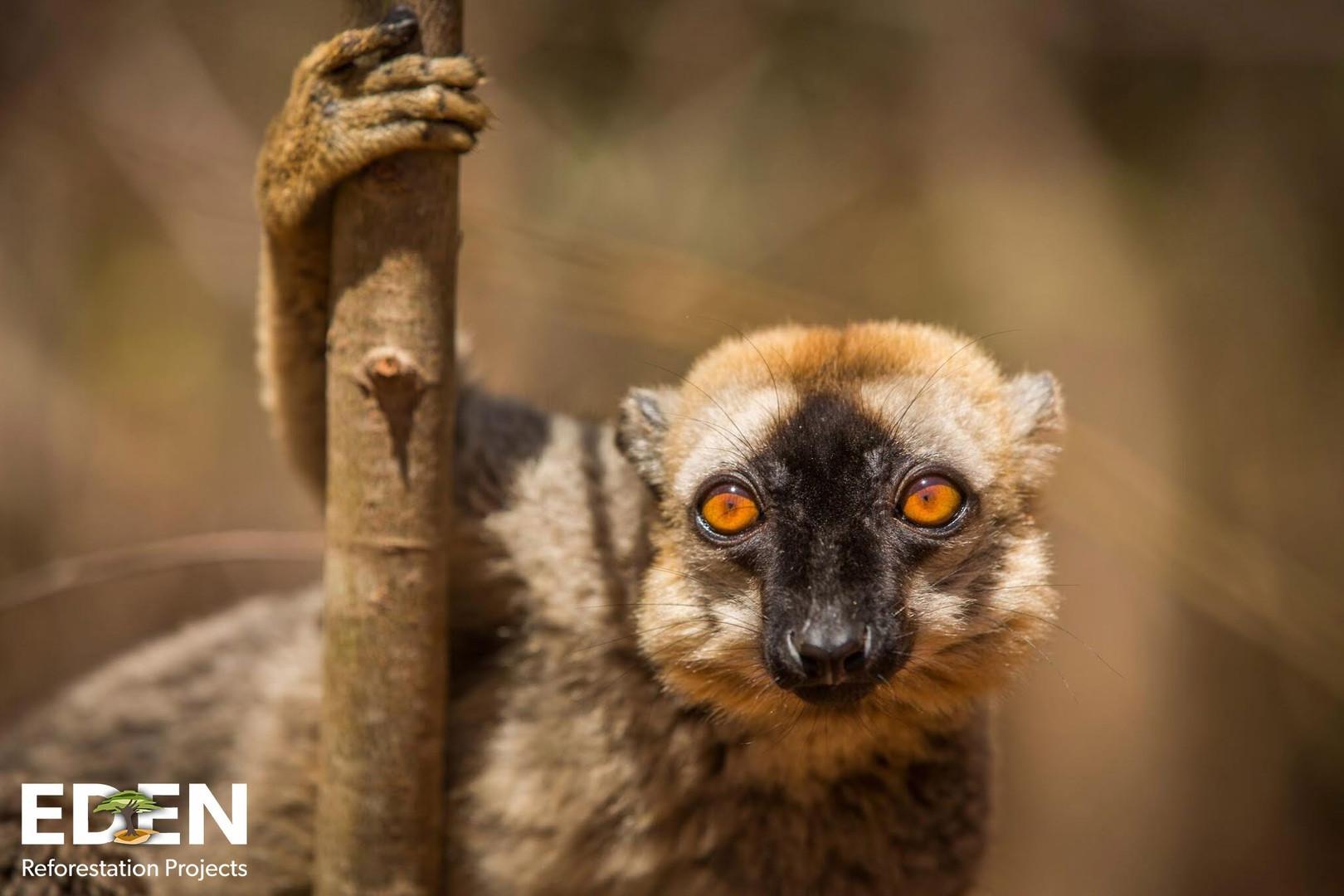 Supplemental-Sapling_Madagascar_Eden Wat