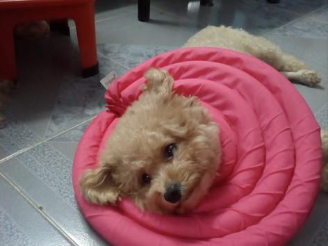 狗狗也做臚骶骨治療Cranial sacral therapy for your dog