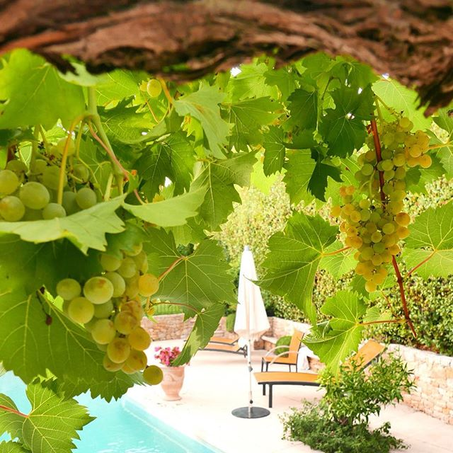 Ripe muscat 🍸_#sweetwine #muscatgrapes #summer16 #cannes #frenchriviera _goonieshouse #VacationFeel