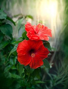 flores-hibisco-rojo-fondo-borroso_72095-