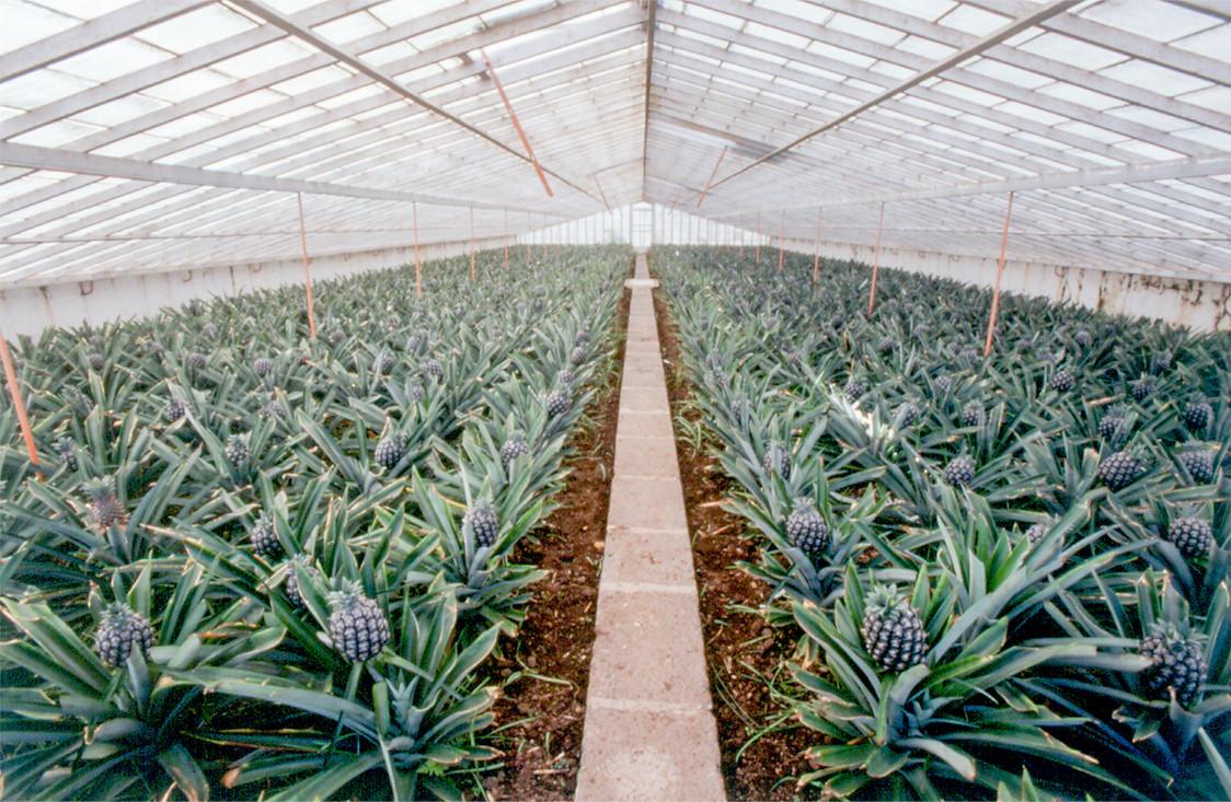 Plantações de Ananás