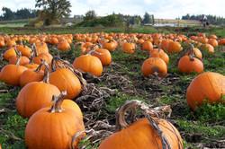 Pumpkins Available!