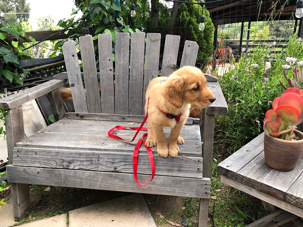 golden retriever sitting on a outdoor chair in los angeles
