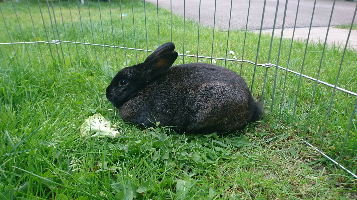 Stampy The Black Rabbit