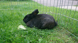 Stampy The Black Rabbit