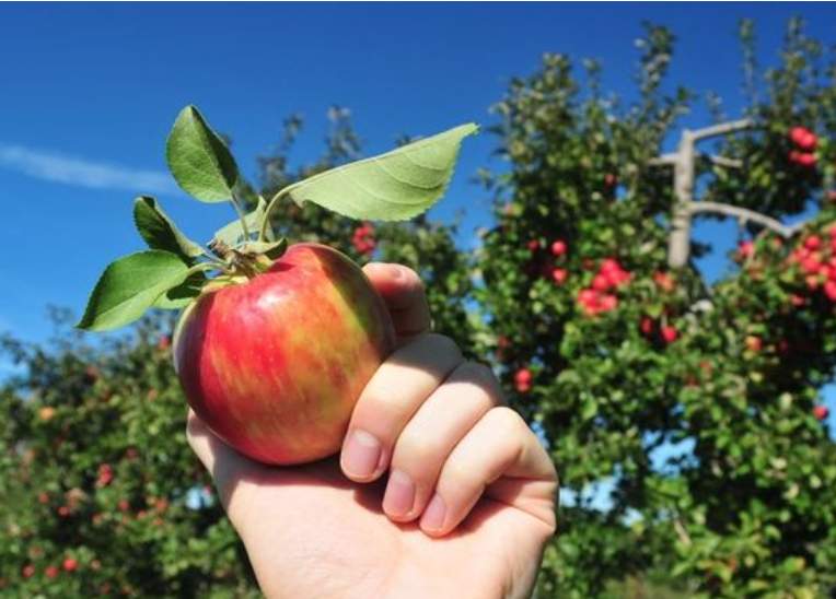 Best Apple Picking Near NYC