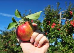 Best Apple Picking Near NYC